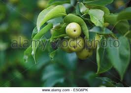 Apple Tree In My Backyard Japanese Pear Tree Stock Photo Royalty Free Image 62617698 Alamy