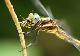 7 things you never knew about dragonflies mnn nature