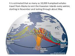 Alaska where to travel in november images Why humpback whales migrate from alaska to hawaii ppt download jpg