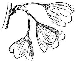 silverbell tree flowers clipart etc