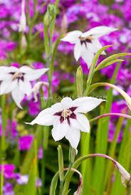 fragrance garden plants acidanthera bicolor aka gladiolus murielae