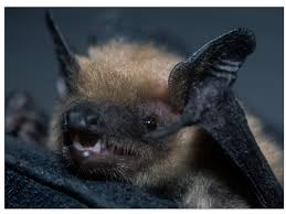 small bat b c has only a small window to help bats wcs canada