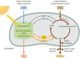 Is Light Energy How Much Energy Is Carried By Photons Used In Photosynthesis
