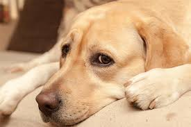 Dog Flu Symptoms Treatment and Prevention for Canine Influenza