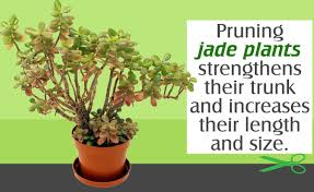 Jade Plant Pruning Tips