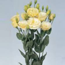 lisianthus flower beautiful yellow creme lisianthus flowers global