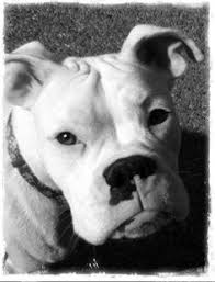 rescue a boxer dog heath with a treat legacy boxer rescue boxers pinterest