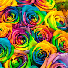 color roses roses seed color seeds multi color roses four seasons sowing