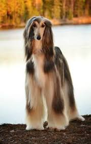 afghan hounds for adoption afghan hound if you don u0027t have a daughter you can practice
