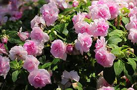 impatiens flowers impatiens yes impatiens best for hanging baskets in
