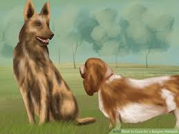 belgian sheepdog apartment how to care for a belgian malinois with pictures wikihow