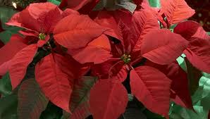 Pointsettia Make A Poinsettia Bloom Year After Year