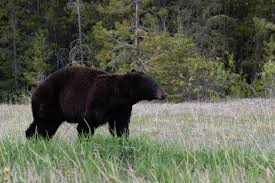 Bears Montana Hunting And Fishing - black bear escapes from montana wild in helena montana hunting and