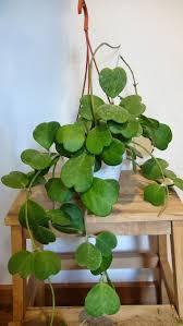 Best Indoor Plants by 604 Best Indoor Plants Hoya Images On Pinterest Indoor Plants