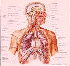 Human Anatomy Respiratory System Lung