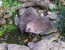 Wildlife Garden Ideas Hedgehogs Can Swim But They Need A Gently Sloping Edge Or R To