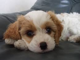 poodle y bichon frise dog relaxed spaniel sleepy poodle bichon couch pup sleep charles