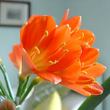 low light flowers indoor low light gardening plant profile clivia
