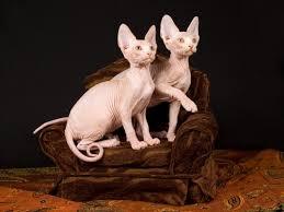 Basta Sphynx: O gato Esfinge sem pelos #PA83