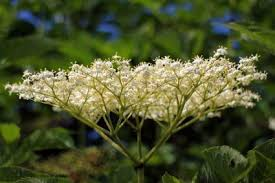 elderberry lovetoknow