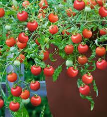 tumbling tom red tomato bonnie plants