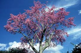 florida memory view of a flowering tree at the cypress gardens