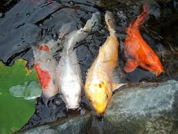 52 best koi images on koi fish pond garden ponds and