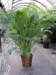 kauai landscaper no ka oi landscape services areca palms