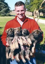 cost of a belgian sheepdog officially certified police k9 u0027s for sale german shepherd