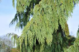 ornamental weeping evergreen trees