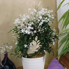 fragrant indoor plants top 8 fragrant houseplants you should have in your house blog