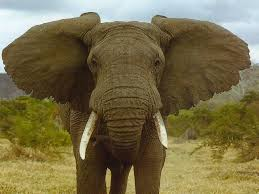 elephants images elephant hd wallpaper and background photos