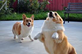 corgi what you should know before getting a corgi