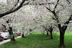 file cherry blossom trees during the spring jpg wikimedia commons