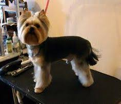 before and after yorkshire terriers short hair cut suzie 1 year old yorkie her first haircut yelp i love