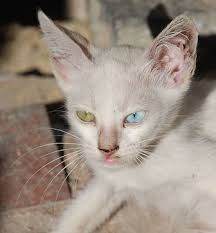 cats with 2 different colored eyes petful