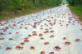 the astonishing annual red crab migration u2013 dzone