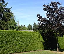 grow your own privacy fence for a backyard retreat fast growing