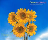 sunflowers for sale sunflower for sale cheap sunflower flowers flower explosion