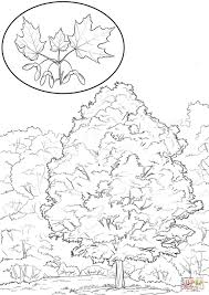 sugar maple coloring page free printable coloring pages