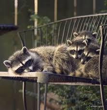 the secret city life of raccoons forterra
