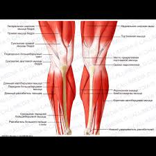Picture Of Human Knee Muscles Knee Leg Anterior View Superficial Muscles