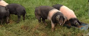 rearing healthy free range pigs on our sustainable farm in the burren