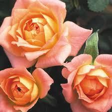 glass roses carnival glass miniature lightly fragrant heirloom roses