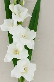 gladiolus flower flower 33in