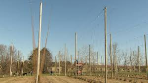 stringing a hop yard plants de la houblonnière youtube