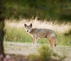 Coyote In My Backyard Coyotes Are Winning In Orange County In Battle Of Man Vs Nature