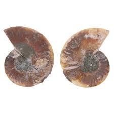 2pcs 40 80g Natural Conch Shell Fossil Mineral Specimen Stone DIY