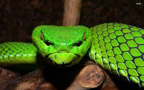 a green snake wallpapers gumprechts green pitviper google search miscellaneous