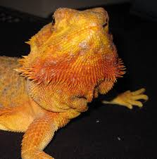 se england super orange bearded dragon female dragons dwell